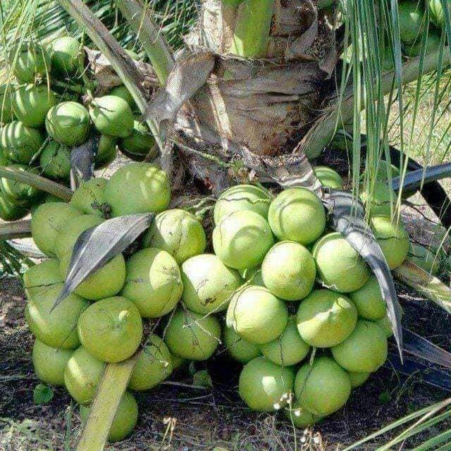 Kĩ thuật trồng Dừa Xiêm Lùn